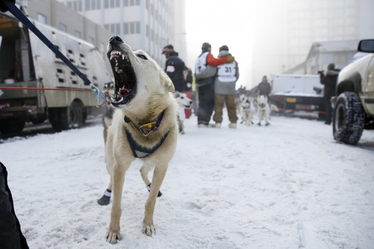 A sled dog barks in anticipation of the entry chute at the ceremonial start to the Iditarod dog sled race in downtown Anchorage, Alaska, March 1, 2014. (REUTERS/Nathaniel Wilder)