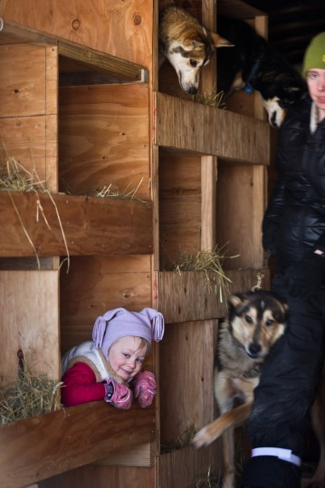 Dallas Seavey's daughter, Annie, plays in her dad's dog truck during the Iditarod Trail Sled Dog Race in Willow Lake, Alaska, on Sunday, March 2, 2014. (Marc Lester/Anchorage Daily News/MCT)