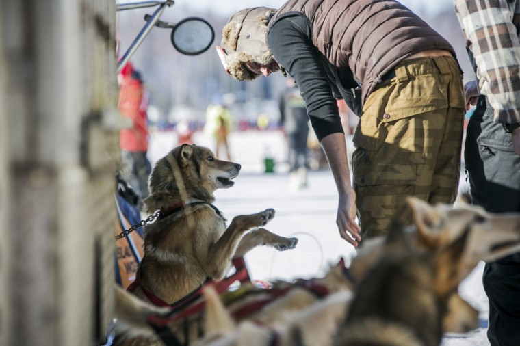 A musher handler plays with a dog as the animals await lineup for the official restart of the Iditarod dog sled race in Willow, Alaska, March 2, 2014. The nearly 1,000-mile (1,600-km) Iditarod Trail Sled Dog Race commemorates a 1925 rescue mission that carried diphtheria serum by sled-dog relay to the coastal community of Nome, which remains the final destination in this 42nd edition of the event. (REUTERS/Nathaniel Wilder)
