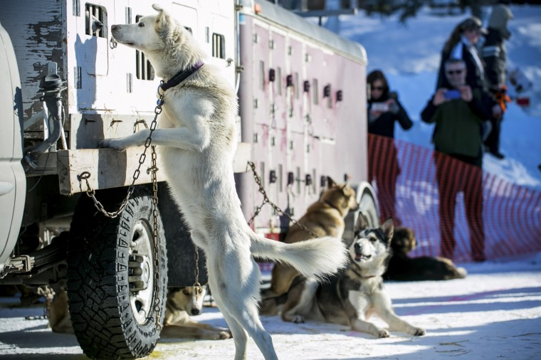 Sled dogs await lineup for the official restart to the Iditarod dog sled race in Willow, Alaska, March 2, 2014. The nearly 1,000-mile (1,600-km) Iditarod Trail Sled Dog Race commemorates a 1925 rescue mission that carried diphtheria serum by sled-dog relay to the coastal community of Nome, which remains the final destination in this 42nd edition of the event. (REUTERS/Nathaniel Wilder)
