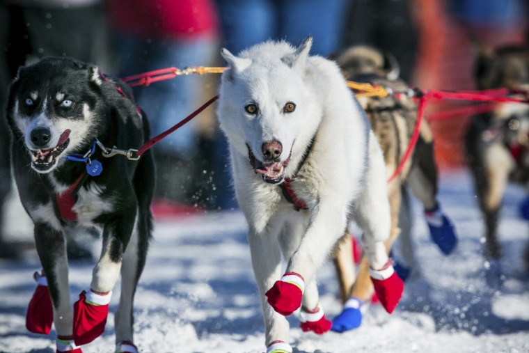 Marcelle Fressineau's team heads down the trail toward Nome during the official restart of the Iditarod dog sled race in Willow, Alaska, March 2, 2014. The nearly 1,000-mile (1,600-km) Iditarod Trail Sled Dog Race commemorates a 1925 rescue mission that carried diphtheria serum by sled-dog relay to the coastal community of Nome, which remains the final destination in this 42nd edition of the event. (REUTERS/Nathaniel Wilder)