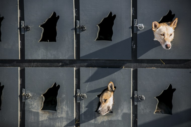 Justin Savidis dogs await lineup in the musher lot before the official restart of the Iditarod dog sled race in Willow, Alaska, March 2, 2014. The nearly 1,000-mile (1,600-km) Iditarod Trail Sled Dog Race commemorates a 1925 rescue mission that carried diphtheria serum by sled-dog relay to the coastal community of Nome, which remains the final destination in this 42nd edition of the event. (REUTERS/Nathaniel Wilder)