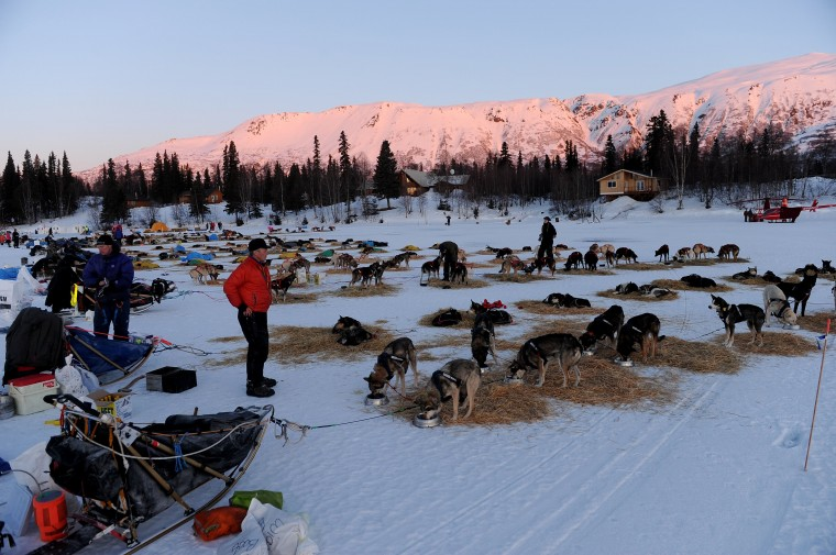 Linwood Fiedler surveys his team at the Finger Lake checkpoint during the 2014 Iditarod Trail Sled Dog Race on Monday morning, March 3, 2014, in Alaska. (Bob Hallinen/Anchorage Daily News/MCT)