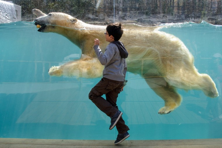 A child looks at a polar bear during the opening day of the new polar area at the zoo of Mulhouse. (Sebastien Bozon/Getty Images)