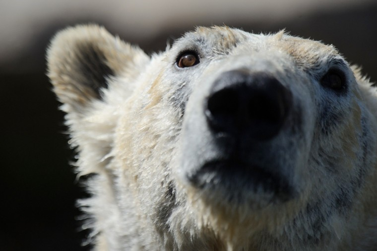A polar bear is pictured during the opening day of the new polar area at the zoo of Mulhouse. (Sebastien Bozon/Getty Images)