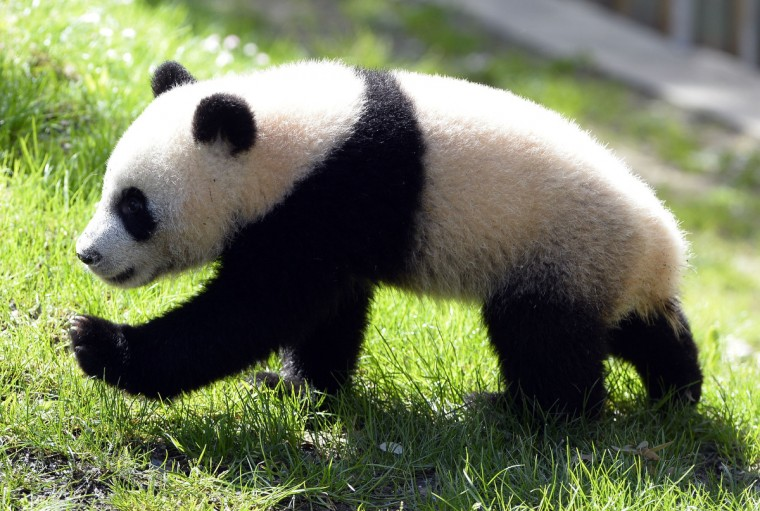 Seven-month-old giant panda Xing Bao (Treasure Star or Father's Treasure in Mandarin) explores its new enclosure at the Zoo Aquarium in Madrid. Xing Bao was the fourth panda cub to be born in the zoo. (Gerard Julien/Getty Images)