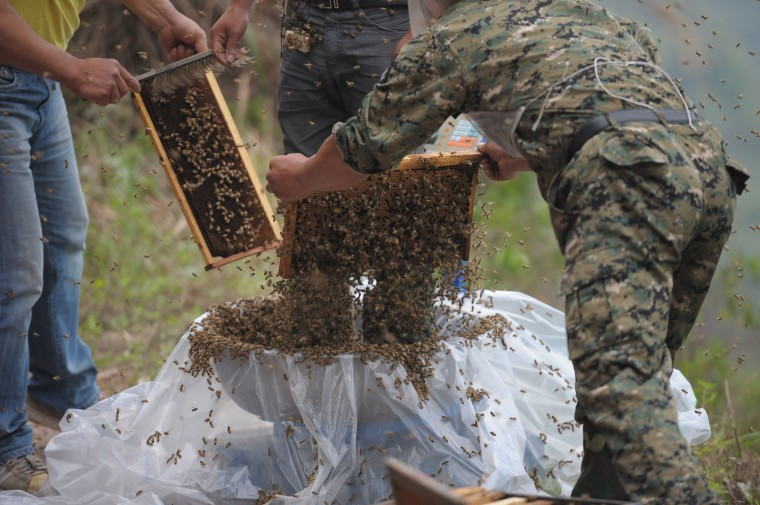 This picture taken on April 9, 2014 shows She Ping (C), a 34 year-old local beekeeper, preparing to wear bees on a small hill in southwest China's Chongqing. She Ping released more than 460,000 bees, attracted them to his body, and made himself a suit of bees that weighs 45.65kg within 40 minutes, local newspaper reported. (China Out/AFP/Getty Images)
