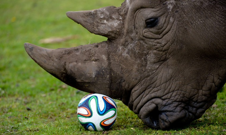 A rhinoceros plays with a football in his enclosure at the Serengeti Park in Hodenhagen, central Germany. (Peter Steffen/Getty Images)