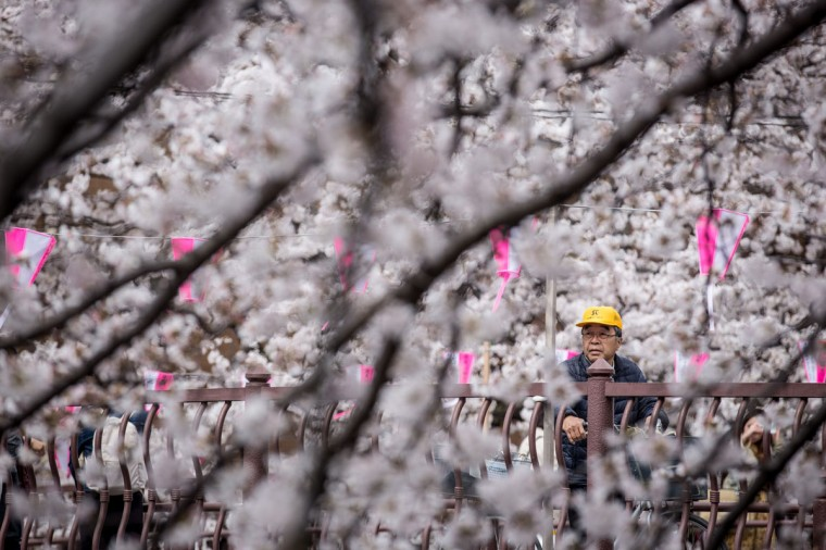 "A man views cherry blossom trees in full bloom at Meguro River, on April 1, 2014 in Tokyo, Japan. The Japanese Meteorological Agency tracked the Sakura (cherry blossom front) northward last week, peaking in Tokyo on March 30. Thousands of people have gathered across Tokyo to take part in ""Hanami"" (Flower-viewing parties) the centuries old tradition of picknicking under a blooming Sakura tree. The blossoming begins in Okinawa in January and moves north through Feburary peaking in Kyoto and Tokyo at the end of March and lasting just over a week. (Photo by Chris McGrath/Getty Images)"