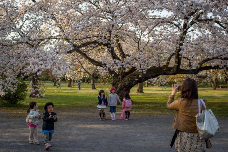 "A woman takes photographs of children in front of a cherry blossom tree in full bloom at Koishikawa Botanical Garden, on April 1, 2014 in Tokyo, Japan. The Japanese Meteorological Agency tracked the Sakura (cherry blossom front) northward last week, peaking in Tokyo on March 30. Thousands of people have gathered across Tokyo to take part in ""Hanami"" (Flower-viewing parties) the centuries old tradition of picknicking under a blooming Sakura tree. The blossoming begins in Okinawa in January and moves north through Feburary peaking in Kyoto and Tokyo at the end of March and lasting just over a week. (Photo by Chris McGrath/Getty Images)"