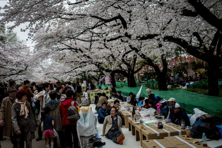 "People take part in "" Hanami"" or Flower-viewing parties under cherry blossom trees in full bloom in Ueno Park, on April 2, 2014 in Tokyo, Japan. The Japanese Meteorological Agency tracked the Sakura (cherry blossom front) northward last week , peaking in Tokyo on March 30. Thousands of people have gathered across Tokyo to take part in 'Hanami' (Flower-viewing parties) the centuries old tradition of picknicking under a blooming Sakura tree. The blossoming begins in Okinawa in January and moves north through Feburary peaking in Kyoto and Tokyo at the end of March and lasting just over a week. (Photo by Chris McGrath/Getty Images)"