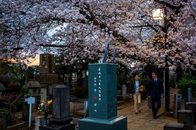 People walk under cherry blossom trees in full bloom in Yanaka Cemetery , on April 2, 2014 in Tokyo, Japan. The Japanese Meteorological Agency tracked the Sakura (cherry blossom front) northward last week , peaking in Tokyo on March 30. Thousands of people have gathered across Tokyo to take part in 'Hanami' (Flower-viewing parties) the centuries old tradition of picknicking under a blooming Sakura tree. The blossoming begins in Okinawa in January and moves north through Feburary peaking in Kyoto and Tokyo at the end of March and lasting just over a week. (Photo by Chris McGrath/Getty Images)