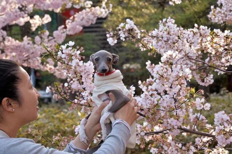 A woman holds up her dog next to a cherry blossom tree in full bloom in Tokyo on April 1, 2014. Viewing cherry blossoms is a national pastime and cultural event in Japan, where millions of people turn out to admire them annually. (Photo by Yoshikazu Tsuno/AFP/Getty Images)