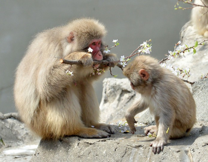 Japanese macaques eat cherry blossoms at Tokyo's Ueno zoological garden on April 2, 2014. The zoo incorperated a cherry tree into the macaques habitat as the sprouts and flowers are their favorite food. (Photo by Yoshikazu Tsuno/AFP/Getty Images)