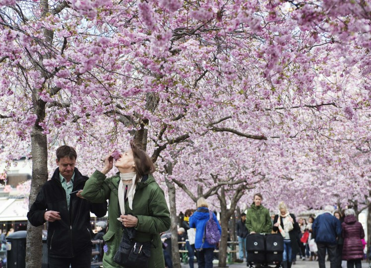 A woman smells cherry trees in full blossom at Kungstradgarden in Central Stockholm on April 17, 2014. (Jonathan Nackstrand/AFP/Getty Images)