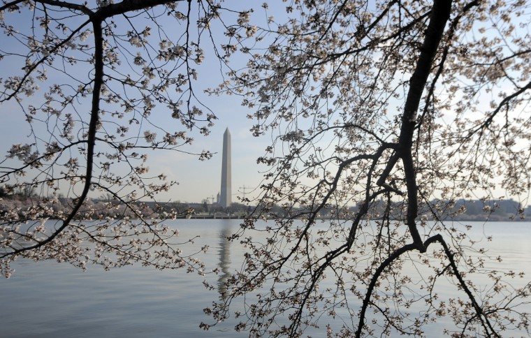 Branches of a cherry tree on the Tidal Basin frame the Washington Monument. (Kim Hairston/Baltimore Sun)
