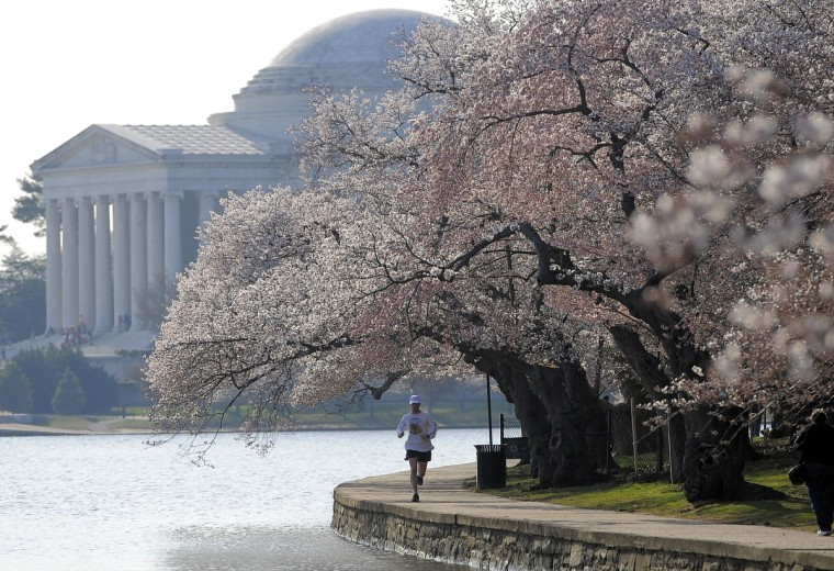A man runs under the branches of cherry trees along the Tidal Basin. (Kim Hairston/Baltimore Sun)
