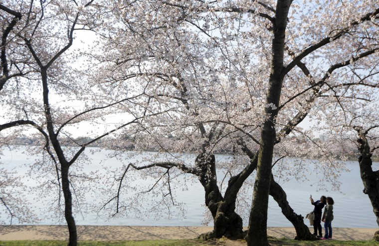 Two women take a photo near cherry trees along the Tidal Basin. (Kim Hairston/Baltimore Sun)