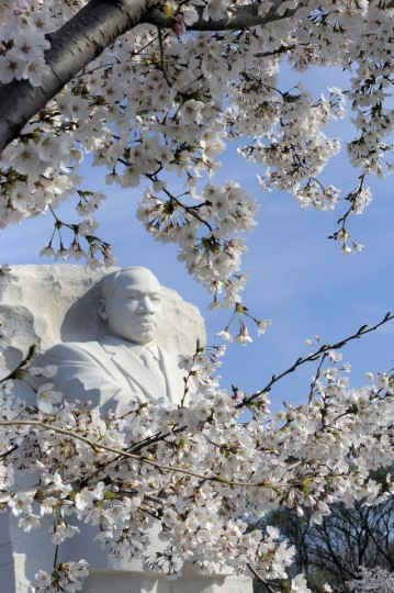 The Martin Luther King, Jr. Memorial is seen behind cherry blossoms. (Kim Hairston/Baltimore Sun)