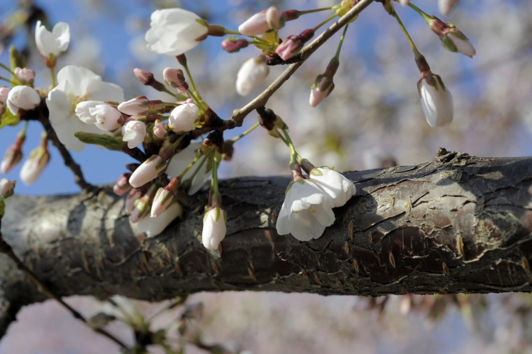 Cherry blossoms are pictured along the Tidal Basin in Washington, DC. (Kim Hairston/Baltimore Sun)