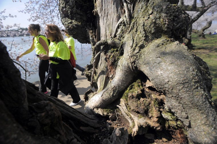Visitors to the Tidal Basin pass the gnarled trunk of a cherry tree. (Kim Hairston/Baltimore Sun)