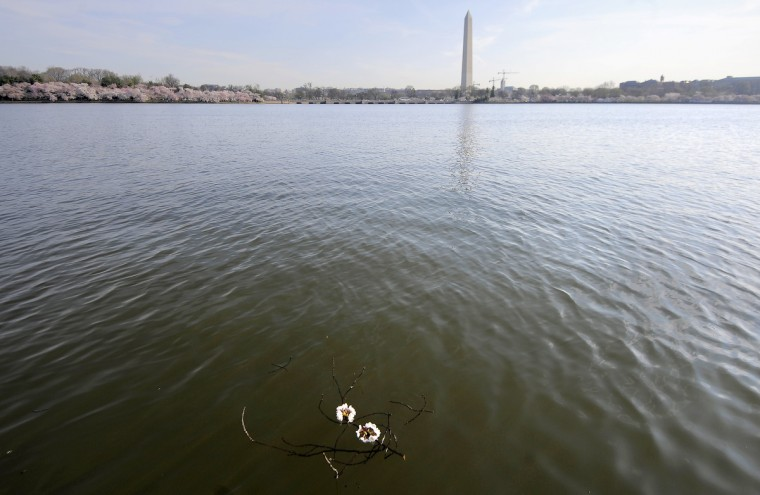 Cherry blossoms float in the Tidal Basin. The Washington Monument is seen in the distance. (Kim Hairston/Baltimore Sun)