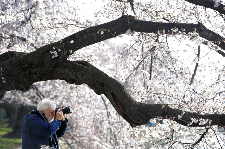 Gerald Carr of Newark, Del., photographs a cherry tree along the Tidal Basin. (Kim Hairston/Baltimore Sun)