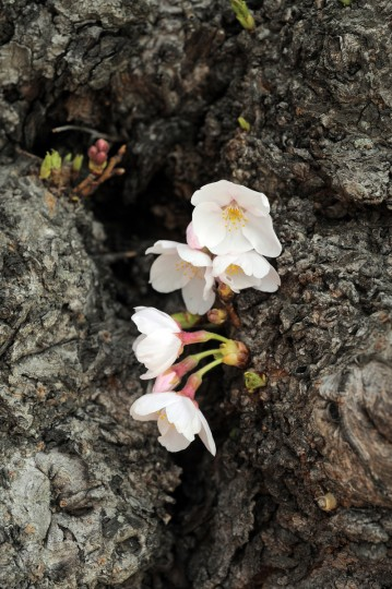 Cherry blossoms are pictured on a tree trunk along the Tidal Basin. (Kim Hairston/Baltimore Sun)