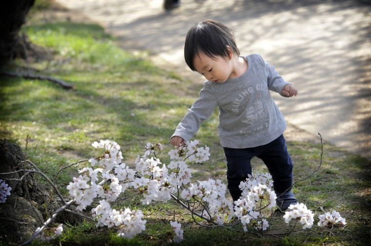 Kei Ouchi, 17 months, of Chevy Chase, checks out a cutting from a cherry tree along the Tidal Basin. (Kim Hairston/Baltimore Sun)