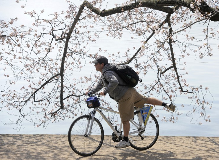 A man gets on a bike as he passes cherry trees along the Tidal Basin. The trees, a gift from Japan in 1912, symbolize the friendship between the two nations. (Kim Hairston/Baltimore Sun)