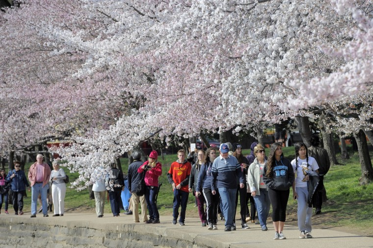 People walk under the branches of cherry trees around the Tidal Basin in Washington, D.C. The trees, a gift from Japan in 1912, symbolize the friendship between the two nations. (Kim Hairston/Baltimore Sun)