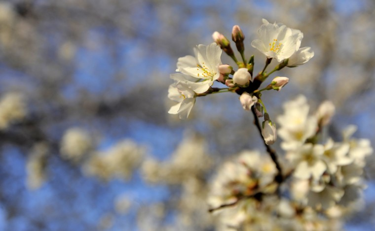 Cherry blossoms are pictured along the Tidal Basin in Washington, D.C. (Kim Hairston/Baltimore Sun)