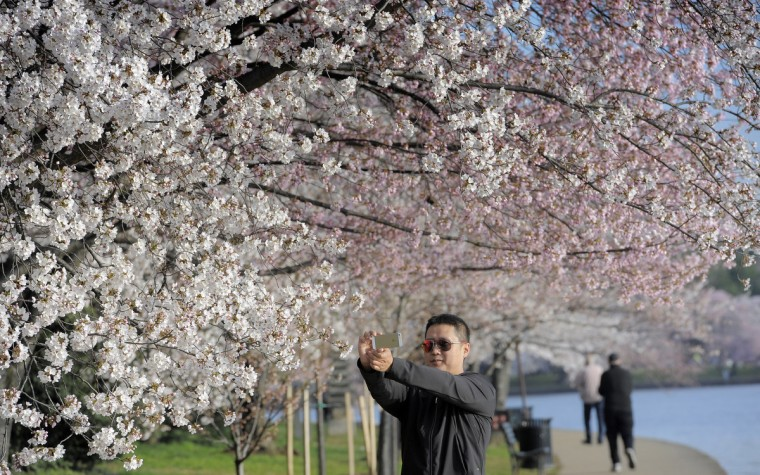 A man photographs cherry blossoms along the Tidal Basin in Washington, D.C. (Kim Hairston/Baltimore Sun)