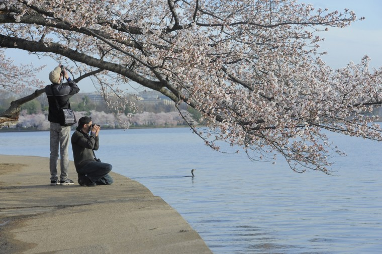 From left, Zachary Morano and his father, Duane Morano of Ashburn, Va., photograph cherry blossoms along the Tidal Basin in Washington, D.C. (Kim Hairston/Baltimore Sun)