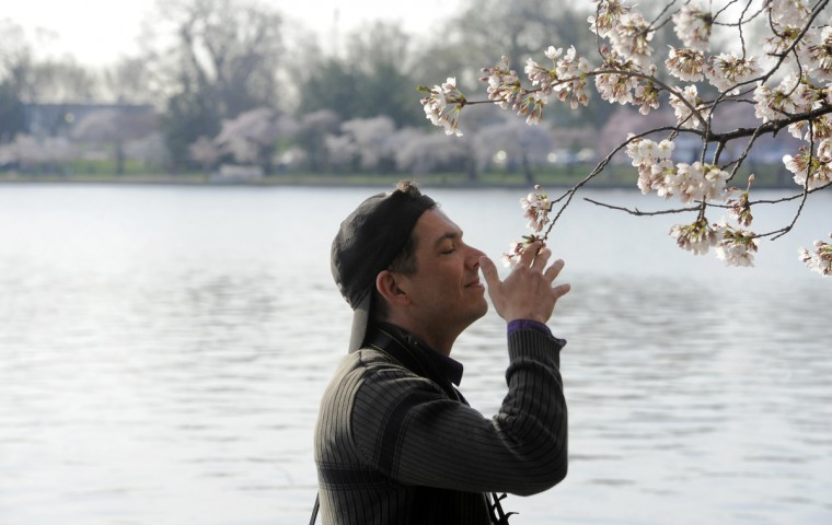 Duane Morano of Ashburn, Va., sniffs cherry blossoms along the Tidal Basin. (Kim Hairston/Baltimore Sun)