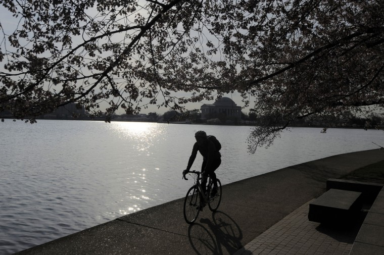 A cyclist rides along the Tidal Basin under cherry trees. The trees, a gift from Japan in 1912, symbolize the friendship between the two nations. Over a million and a half people will walk among the trees during the five weeks of the National Cherry Blossom Festival. (Kim Hairston/Baltimore Sun)