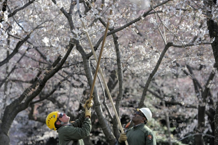 From left, James Mitchell and Alonzo McBryde, tree workers with the National Park Service, prune dead wood from cherry trees along the Tidal Basin in Washington, D.C. They started their work in January. (Kim Hairston/Baltimore Sun)