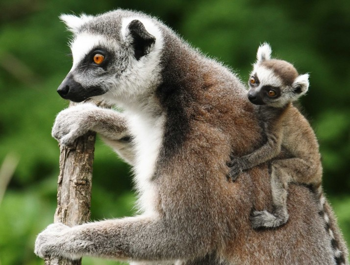 A Lemur catta, also known as ring-tailed lemur, with its three-week-old cub clinging to its back sits on a tree at the Schoenbrunn zoo in Vienna April 4, 2014. || PHOTO CREDIT: HEINZ-PETER BADER - REUTERS