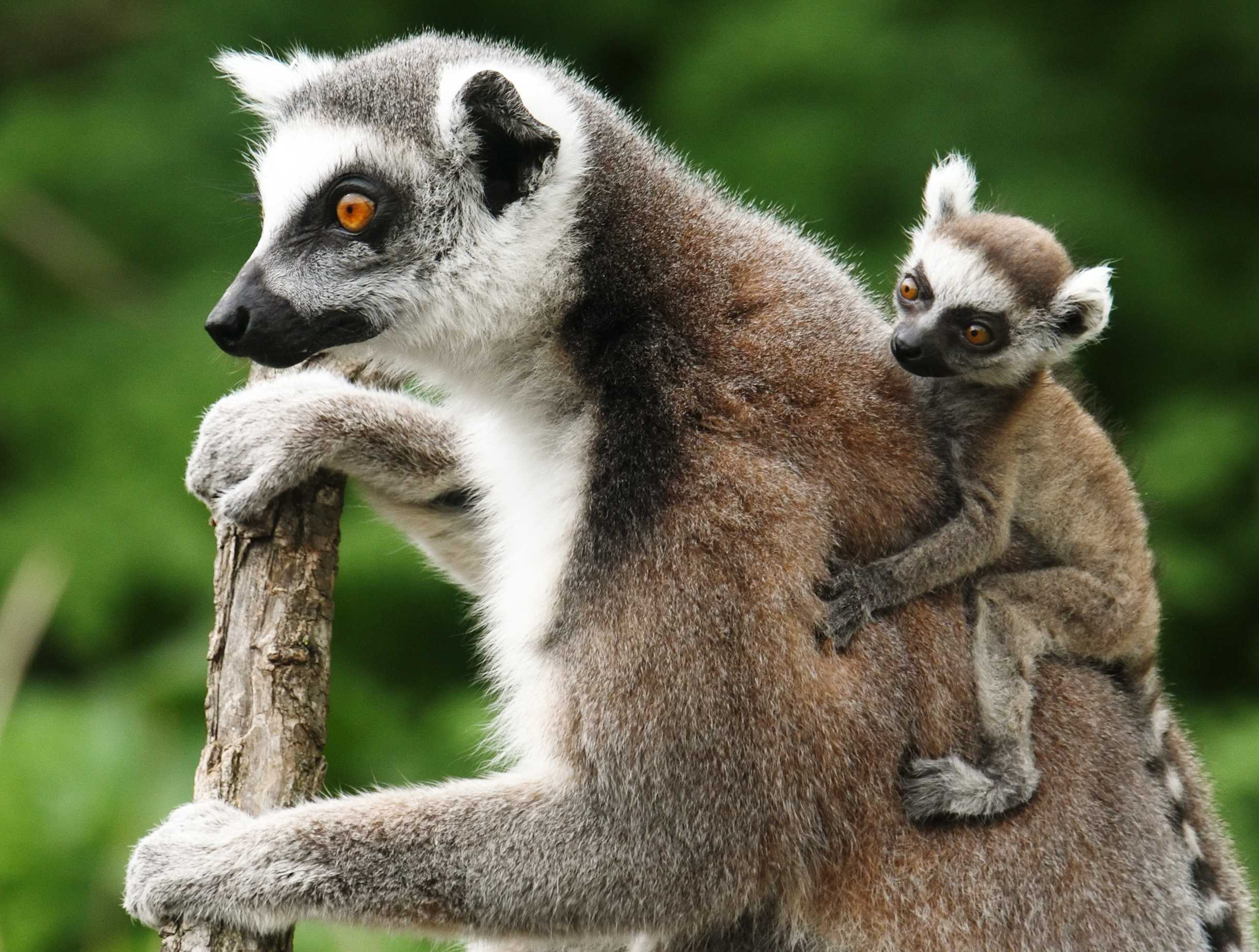 a lemur catta also known as ringtailed lemur with its