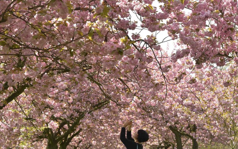 A visitor photographs cherry blossom on trees in Greenwich Park in south London, April 10, 2014. (Toby Melville/Reuters)