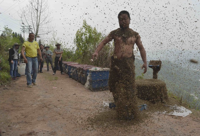 She Ping, a 34-year-old beekeeper, shakes off bees after an attempt to cover his body with bees in Chongqing municipality, April 9, 2014. He used queen bees to successfully attract more than 460,000 bees, weighing over 45 kg (99 lbs), within 40 minutes, local media reported. Picture taken April 9, 2014. (China Daily/REUTERS)