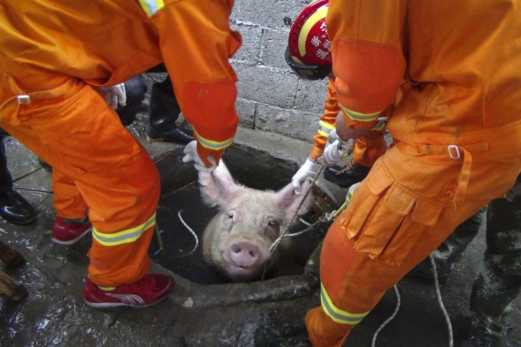 Firefighters pull a pig as they try to rescue it from a well at a pig farm in Huanghua township of Leqing, Zhejiang province, April 25, 2014. Seven local firefighters successfully rescued a 300 kg (661 lbs) pig which fell down a well on Friday morning, local media reported. (REUTERS/China Daily)