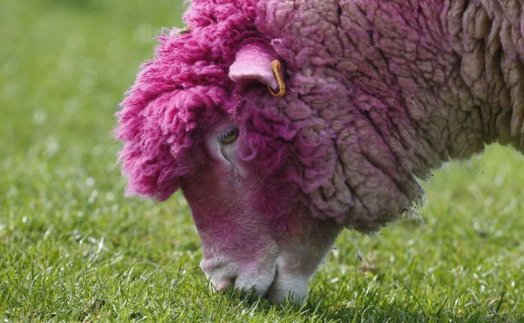 A sheep with dyed pink wool grazes in a field near the village of Balintoy April 24, 2014. It has been painted pink to welcome the arrival of the Giro d'Italia cycle race whose race leader wears a pink jersey. (REUTERS/Cathal McNaughton)
