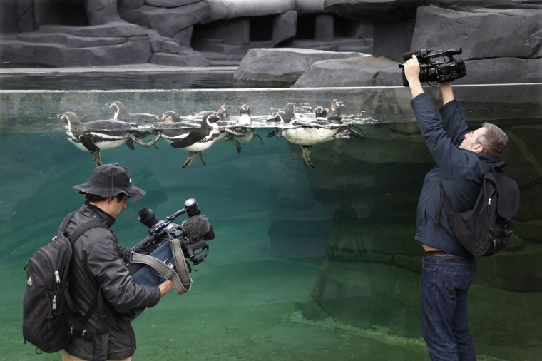 Journalists film Humboldt penguins during press day at the Paris Zoological Park in the Bois de Vincennes in the east of Paris April 8, 2014. Inaugurated in 1934, the Paris Zoo will reopen for the public on April 12, 2014 after being closed for four-years for renovation, transforming the zoo with new quarters for animals and greater information for visitors about the animals and their environment. (REUTERS/Charles Platiau)