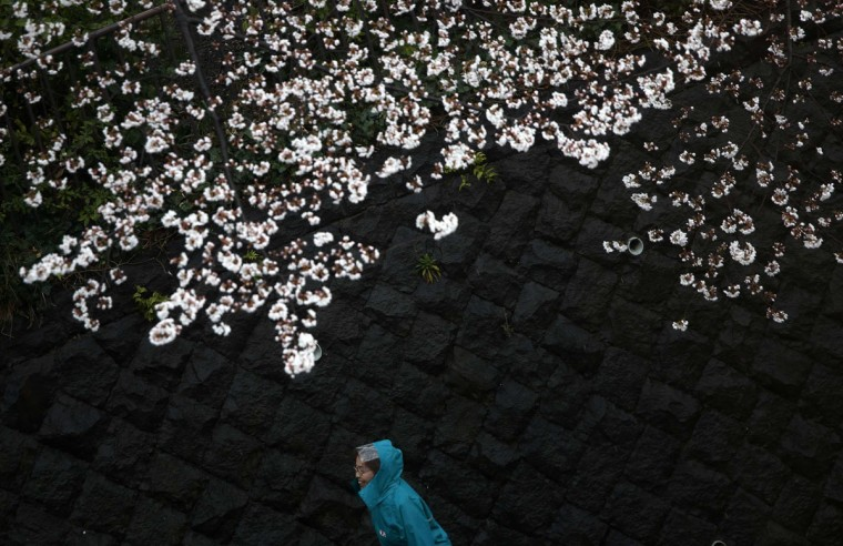A woman wearing a rain cape walks under cherry blossoms at a Tokyo park at the beginning of the cherry blossom season in Tokyo March 30, 2014. (Photo by Issei Kato/Reuters)