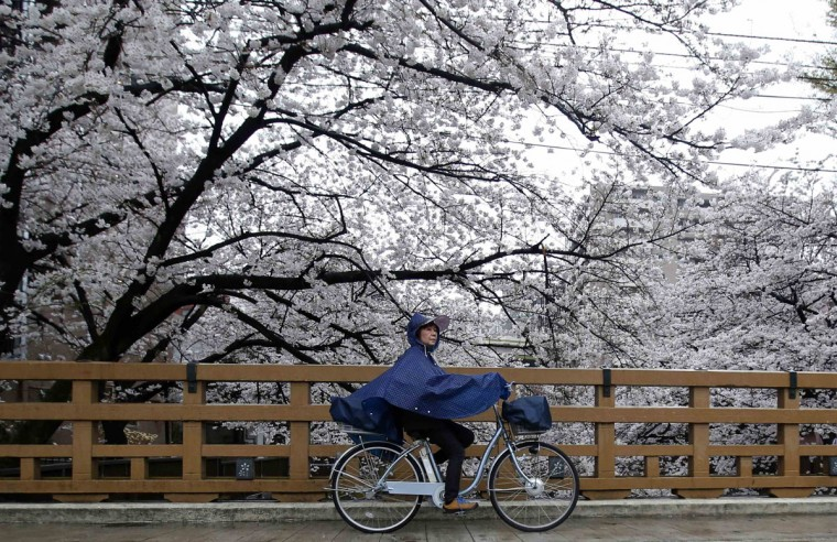 A woman on a bicycle rides past cherry blossoms at the beginning of the cherry blossom season in Tokyo March 30, 2014. (Photo by Yuya Shino/Reuters)