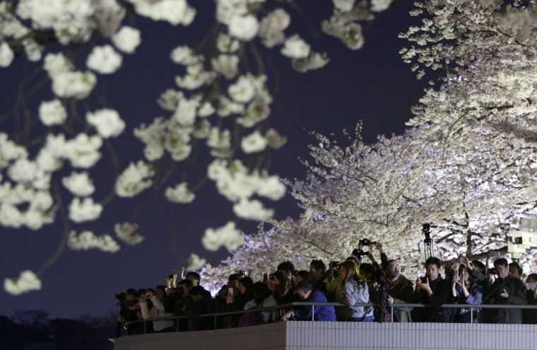Visitors take pictures of illuminated cherry blossoms in full bloom along the Chidorigafuchi moats in Tokyo April 1, 2014. Many people enjoy viewing the blossoms across the country during this season. (Photo by Yuya Shino/Reuters)