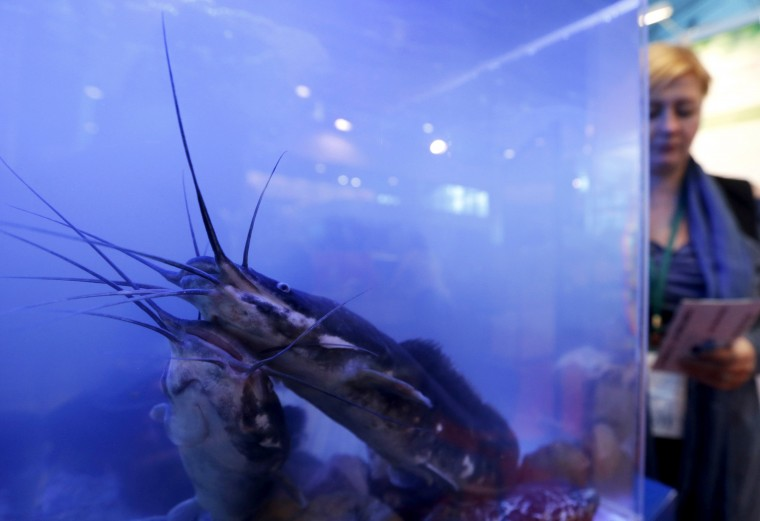 "Tsar pink catfish is displayed during the agro-industrial exhibition ""Agrorus"" in St. Petersburg. The exhibition, which opened on Friday, exhibits produce from more than 30 Russian regions, including baked goods, meat products, beekeeping, fish, alcoholic drinks, canned vegetables and other products, according to organizers. 