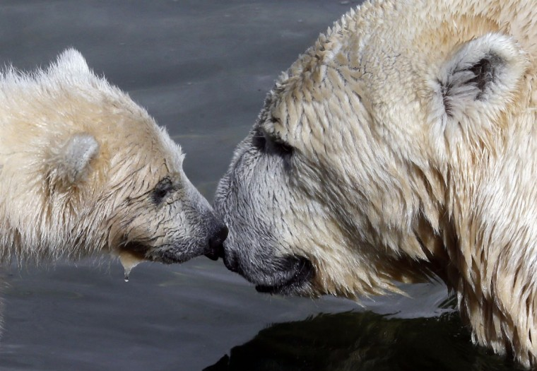A polar bear cub (L) plays with its mother Uslada at the Leningrad Zoo in St. Petersburg, April 24, 2014. The four-month old polar bear cub, who made its first public appearance on Thursday , is yet to be named. (REUTERS/Alexander Demianchuk)