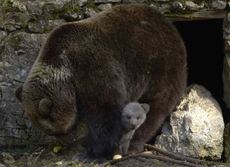 A brown bear cubs peeks out from underneath it's mother Ursina as it plays in their enclosure at Juraparc animal park near Vallorbe. Ursina, an 18-year old female bear gave birth to two cubs, King and Zoe, the twelfth and thirteenth cubs of the park, on an unknown date in January 2014. The parent bears were separated before the birth to avoid conflict between the father and cubs. (Denis Balibouse/Reuters)